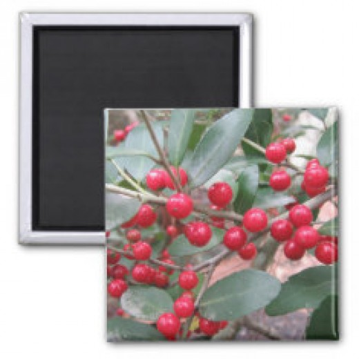 Holly berries are eaten by many songbirds.