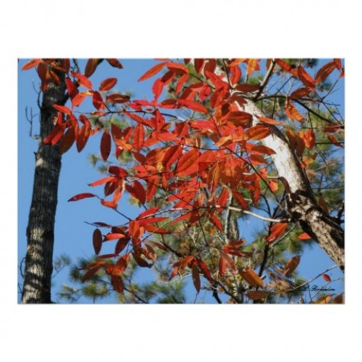 Besides having colorful autumn leaves, the summer blooms of native Sourwood trees are used by honeybees.