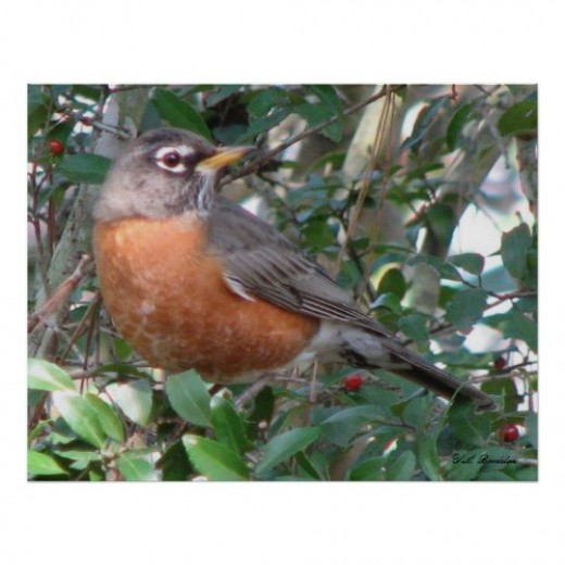 Robins spend fall and winter in South Louisiana where they fill up on yaupon and other holly berries.