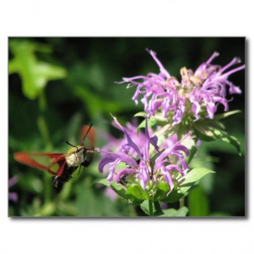 Moths, butterflies and bees are important pollinators. Planting flowering herbs and edible flowers around the garden will bring in more pollinators.