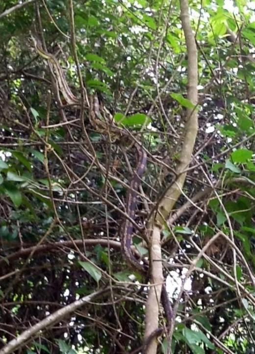 Texas Rat Snake Climbing