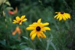 Rudbeckias for the South