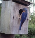 Bluebirds and Their Boxes