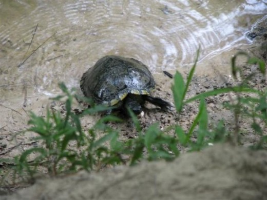 There is about a 10-12 foot drop from the top of the bank to the turtle.