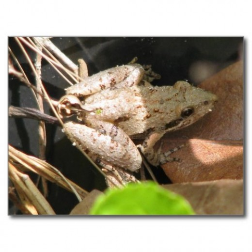 This light colored cricket frog shows the variety of color and patterns which can occur.