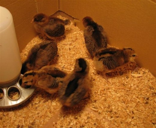 The next morning they were perky and were eating and drinking & doing little chick things.