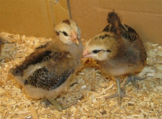 These are the 2 youngest ones at 5 weeks. All have wing and tail feathers & are feathering out on their bodies, too.