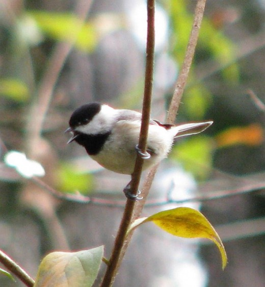 This little chickadee was singing to attract a mate.