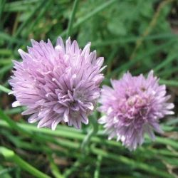 Chives Blooms