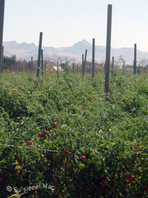 A field full of organic tomatoes off San Felipe Road.