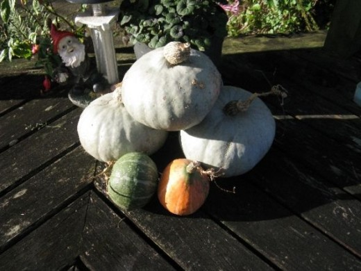 Pumpkins grown on side Urenui River NZ Photo Credit - Elsie Hagley