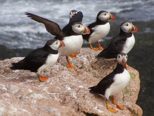 Atlantic puffins in Maine, USA - Puffins on the rocks.