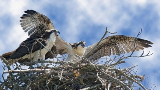 Osprey Parent and Juvenile by William H. Majoros (Own work) [CC-BY-SA-3.0 (www.creativecommons.org/licenses/by-sa/3.0)], via Wikimedia Commons