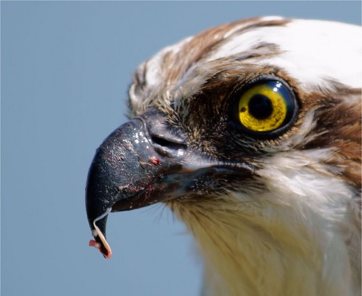 Osprey - Gory Beak - By Simon Carrasco from Alameda, CA (Gory Beak  Uploaded by Snowmanradio) [CC-BY-2.0 (http://creativecommons.org/licenses/by/2.0)], via Wikimedia Commons