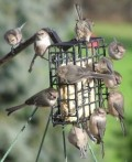 Hot Pepper Suet for Birdfeeders