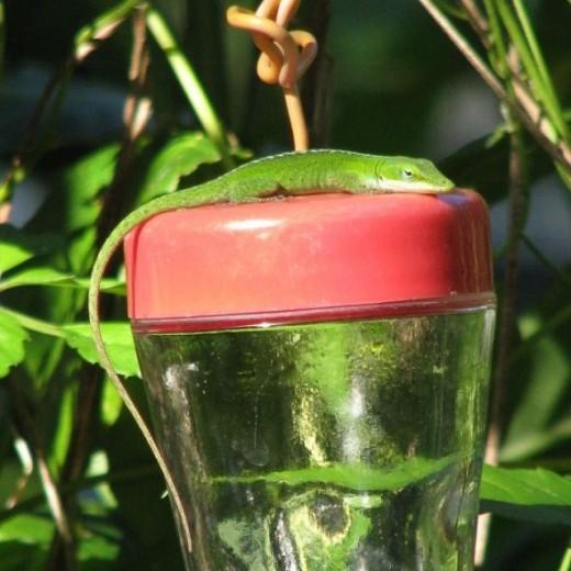 Green Anole Sunning