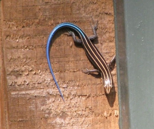 5-Lined Skink Blue Tail