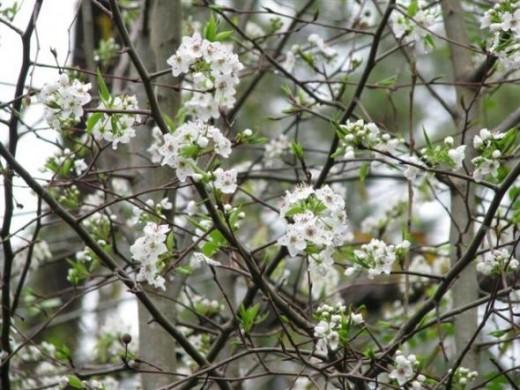 Green Hawthorne Flowers