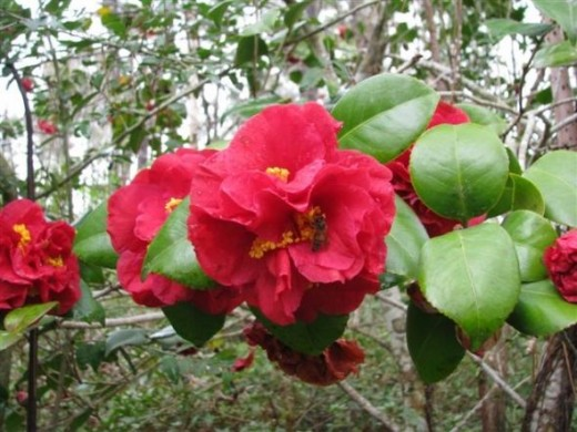 Red Camellia japonica and Honey Bee