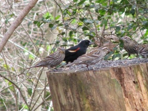 Red-winged Blackbird Male and Females