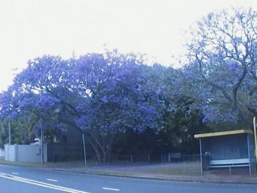 Jacaranda Trees in Sunnybank