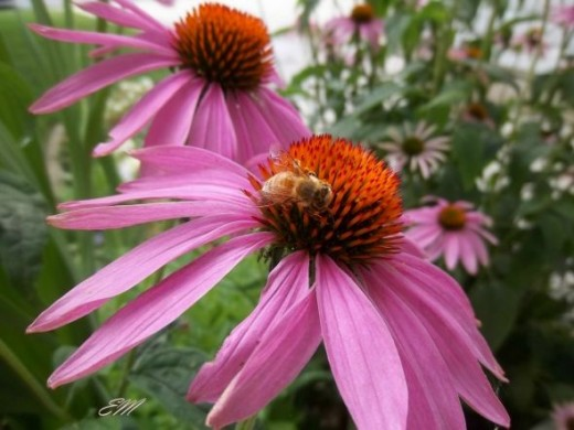 Honey bee visiting my Echinacea blooms - Summer 2012