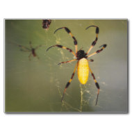 By fall the female spiders are very large. After mating, the tiny male often ends up as nutrition for the female.