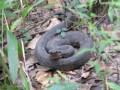 Quiz: Snakes of Louisiana