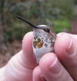 Banding a Hummingbird