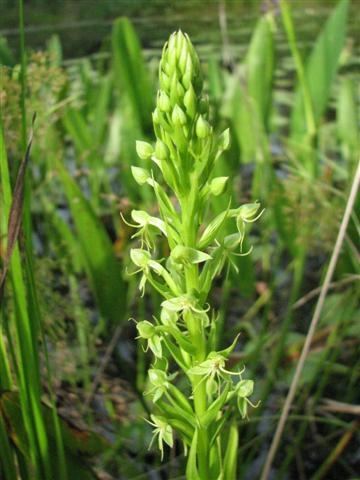 Water Spider Orchid