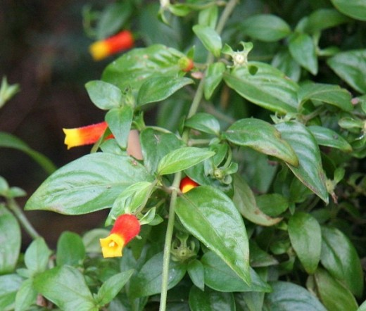 Candy Corn Vine is a favorite of hummingbirds.