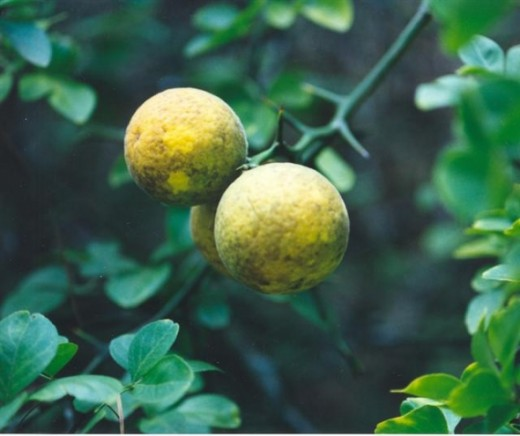Trifoliate Orange by Y.L. Bordelon