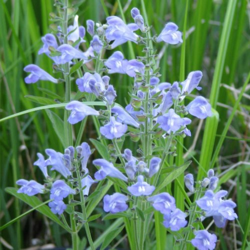 Rough skullcap is one of the few clear blue wildflowers.
