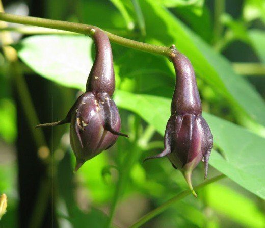 The dark purple oddly shaped seed pods have a ghoulish look to them.