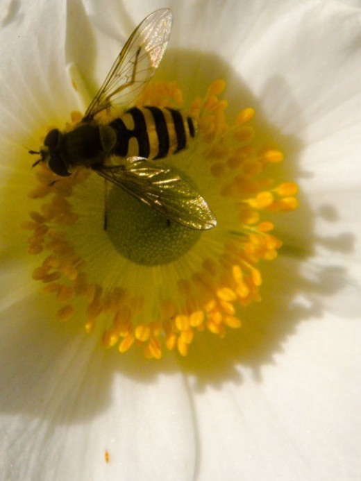 japanese anenome and hover fly