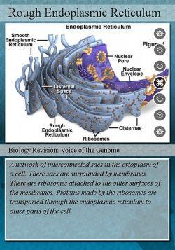 Description about rough endoplasmic reticulum