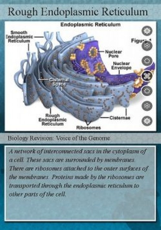Description about rough endoplasmic reticulum
