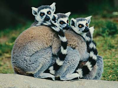 Lemur Mommas Carry Babies in Their Mouths, Until They Can Hang On!
