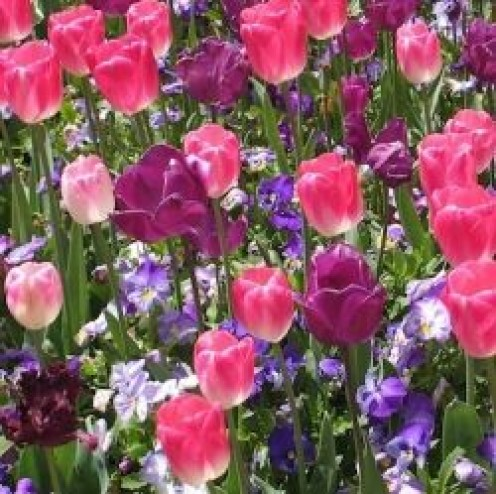 Pink and Purple Tulips at Floriade Canberra