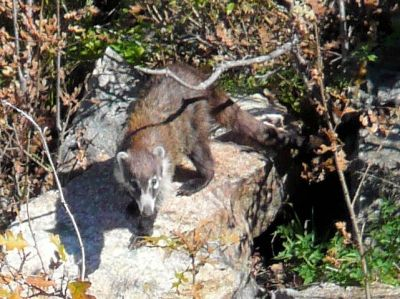 White-nosed coati observed on Mt. Hopkins in Southern Arizona