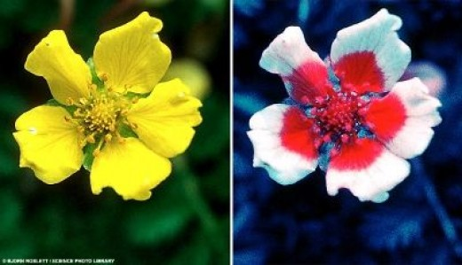 A flower photographed in ultraviolet light revealing communication signals intended for bees