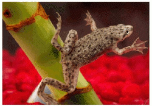 Can African Dwarf Frogs Eat Betta Food