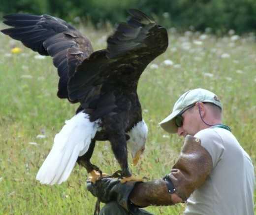 Falconer Holding Bald Eagle 001 by Clive Anderson