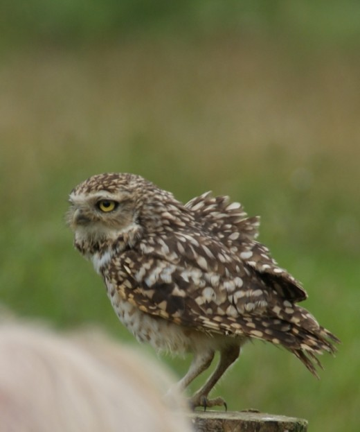 This was a comical and fun chap to watch, a small burrowing Owl called Major Lewis.