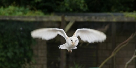 The unmistakable Barn Owl in flight.