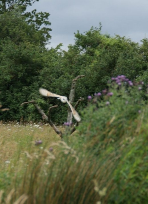 The stealthy Barn Owl flying low through the meadow.
