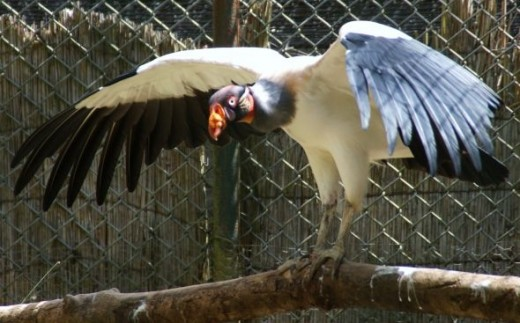 Colorful Vulture stretching and spreading its massive wings.