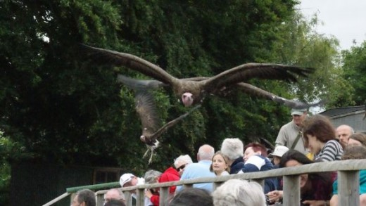 Several Vultures were allowed to fly all at once on one occasion, here they are flying low over the spectators during the display.