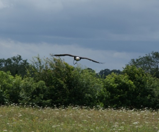 Bald Eagle coming in fast from across the meadow.