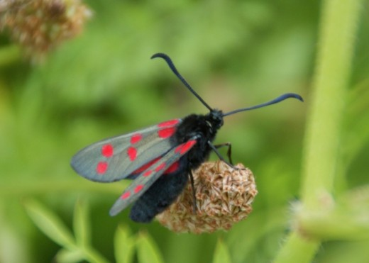 Found this pretty little black and red fellow in the meadow.